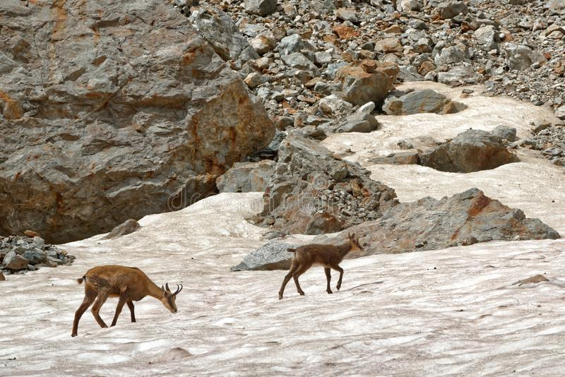 A chamois family in the Ecrins National Park royalty free stock images
