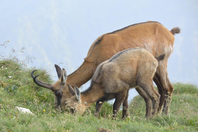 Chamois female with her cub feeding. royalty free stock photos