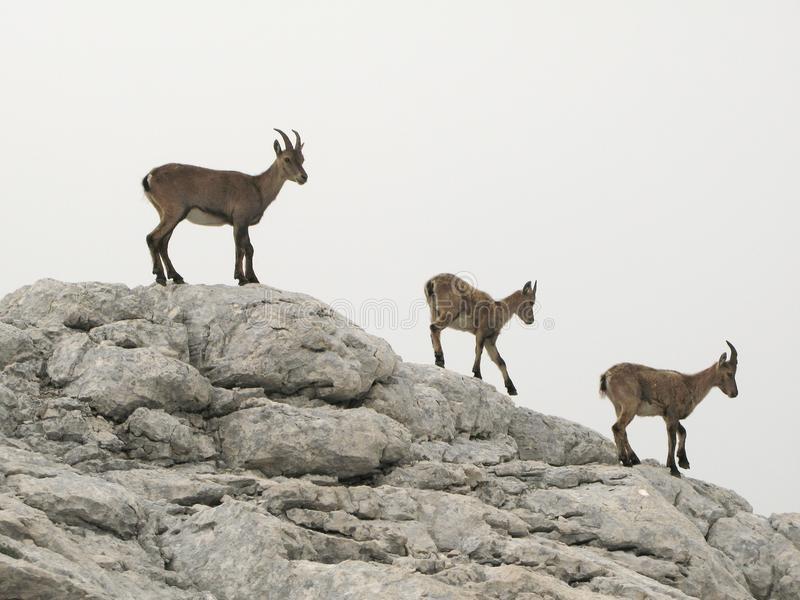 Download Chamois in Julian Alps stock photo. Image of fauna, goat - 11972678