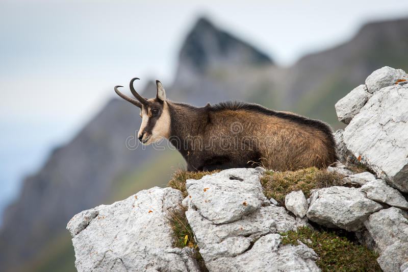 Chamois lying on the hill royalty free stock photo