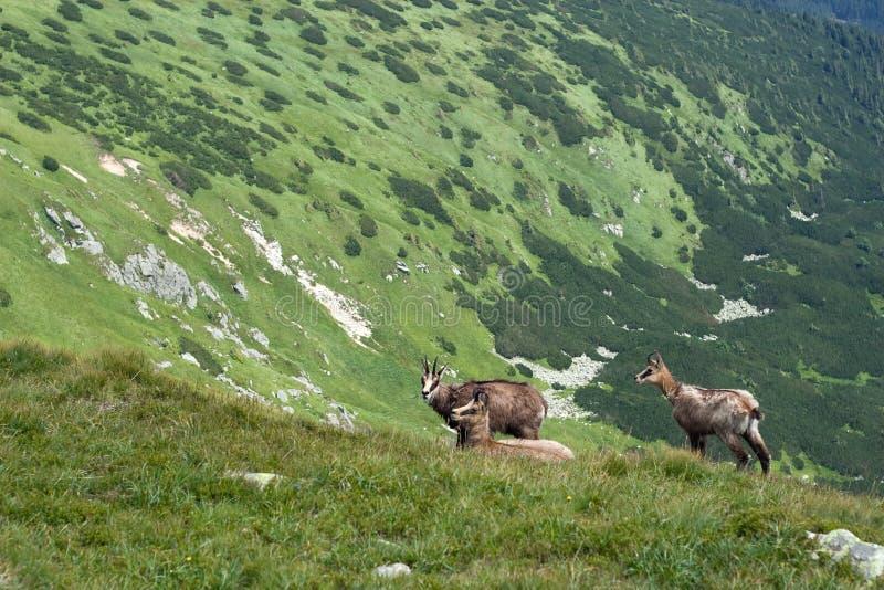 Download Chamois On The Mountain Ridge Stock Image - Image: 20514367