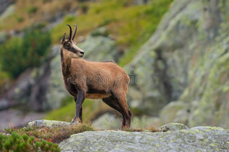 Chamois in mountains royalty free stock image