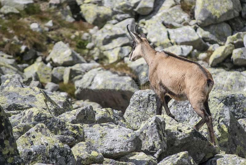 Chamois in the national park stock photos