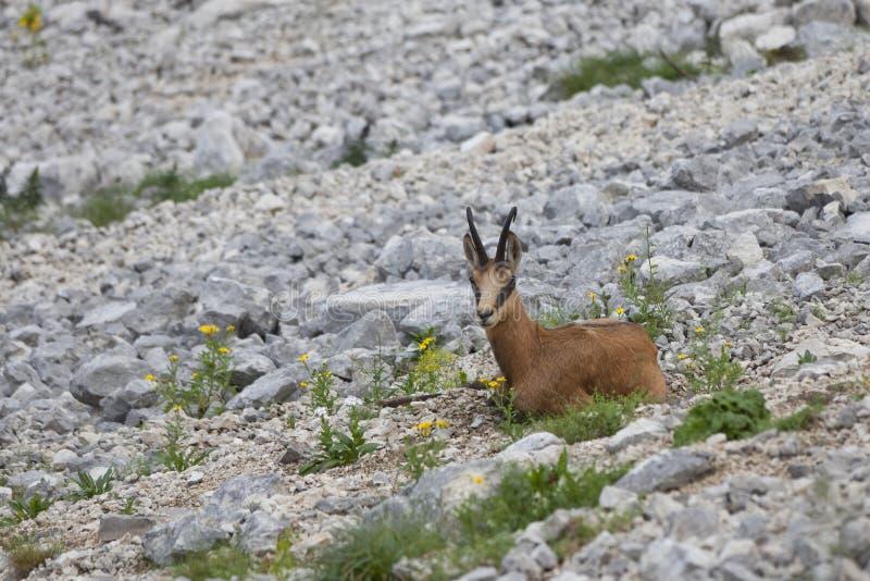 Download Chamois (Rupicapra Carpatica) Stock Image - Image: 15808531