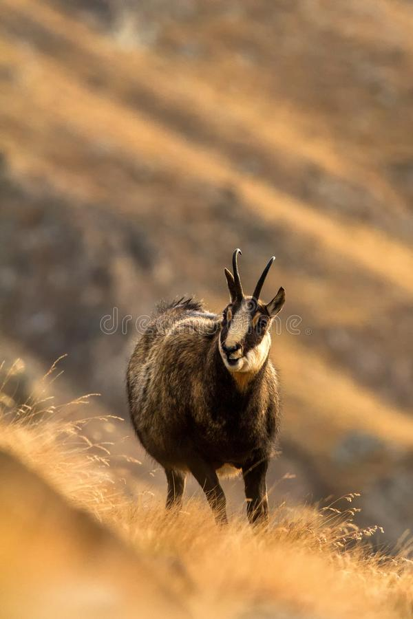 Chamois, Rupicapra rupicapra, on the rocky hill with autumn grass, mountain in Gran Paradiso, Italy. Autumn in the mountains royalty free stock photography