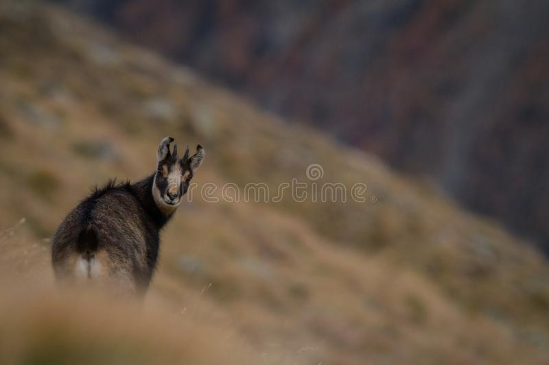 Chamois, Rupicapra rupicapra, on the rocky hill with autumn grass, mountain in Gran Paradiso, Italy. Autumn in the mountains stock photo