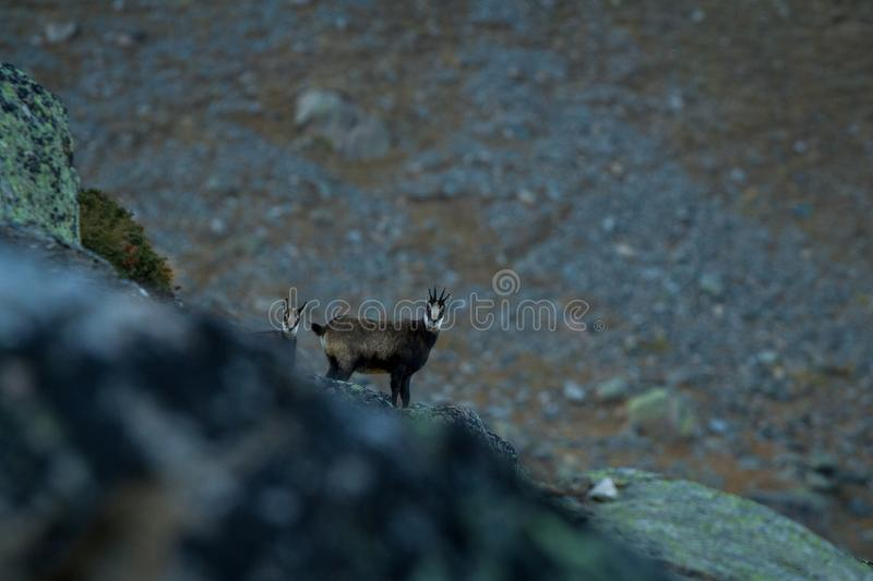 Chamois, Rupicapra rupicapra, on the rocky hill with montain in background, mountain in Gran Paradiso,Autumn in mountains. Chamois, Rupicapra rupicapra, on the stock photo