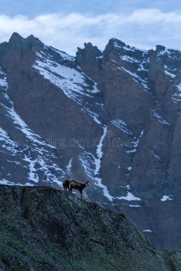 Chamois, Rupicapra rupicapra, on the rocky hill with montain covered by snow, mountain in Gran Paradiso,Autumn in mountains stock image