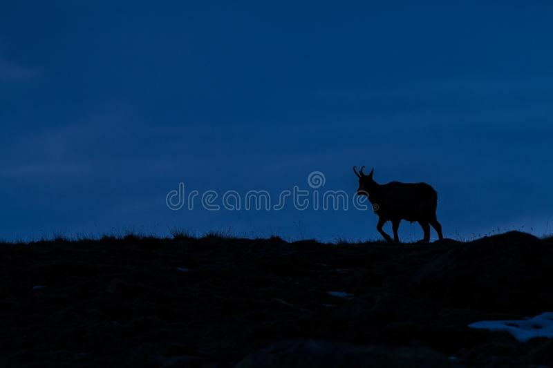 Chamois, Rupicapra rupicapra, on the rocky hill after sunset, mountain in Gran Paradiso, Italy. Autumn in the mountains royalty free stock photo