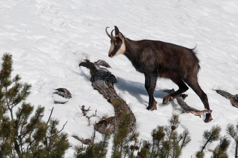 Chamois Rupicapra rupicapra, beautiful mammal from the Alps, Lombardy, Italy royalty free stock photo