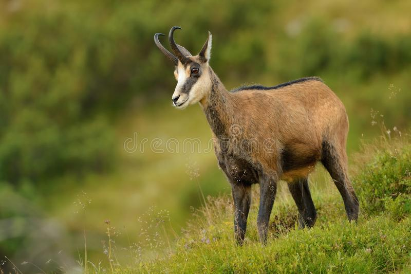 Chamois - Rupicapra rupicapra stock photography