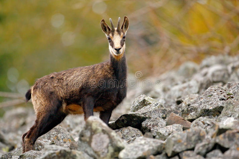 Chamois, Rupicapra rupicapra, in the green grass, grey rock in background, Gran Paradiso, Italy. Animal in the Alp. Wildlife scene. From mountain royalty free stock image