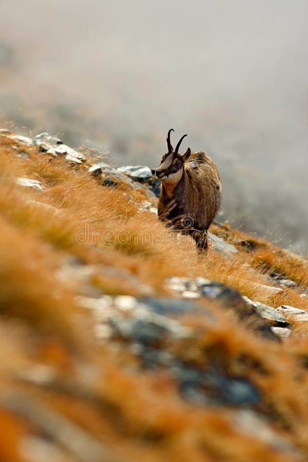 Free Chamois, Rupicapra Rupicapra, On The Rocky Hill With Autumn Grass, Mountain In Gran PAradiso, Italy. Wildlife Scene In Nature. Stock Images - 159585904