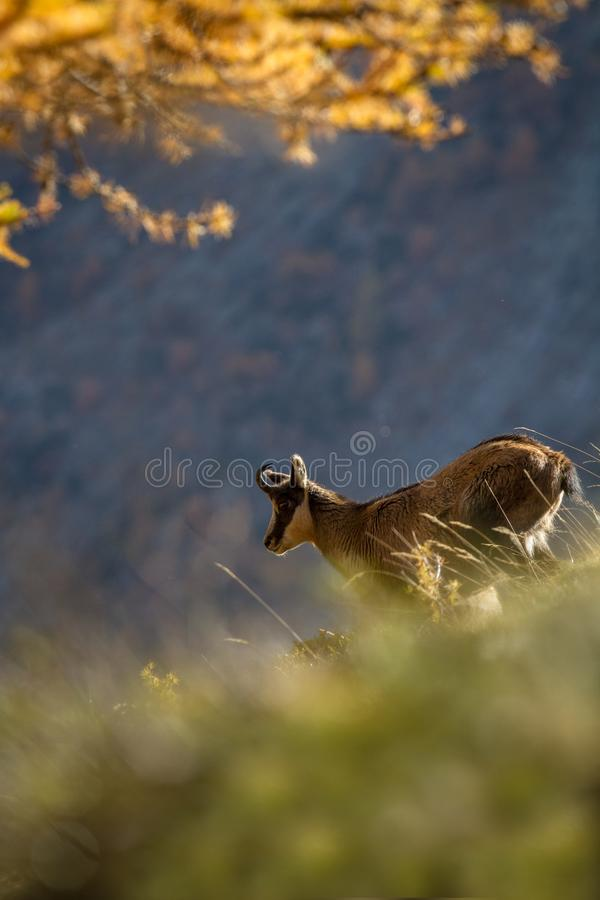 Chamois, Rupicapra rupicapra, on the rocky hill with autumn grass, mountain in Gran Paradiso, Italy. Autumn in the mountains royalty free stock images