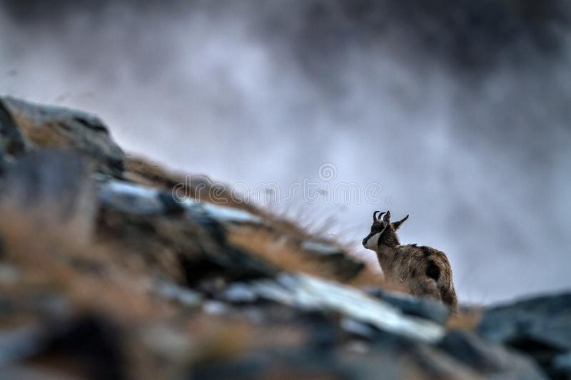 Chamois, Rupicapra rupicapra, on the rocky hill during misty morning, mountain in Gran Paradiso, Italy. Autumn in the mountains. Mammal, herbivorous, wildlife royalty free stock image
