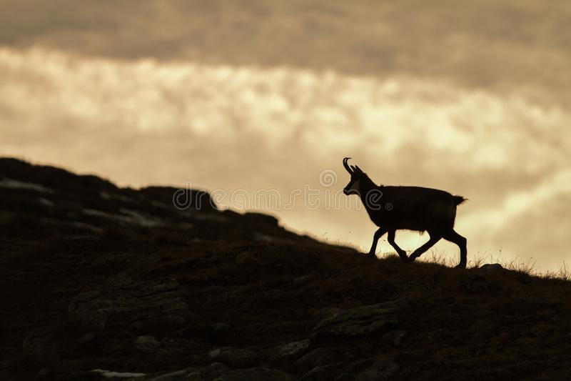 Chamois, Rupicapra rupicapra, on the rocky hill during misty morning, mountain in Gran Paradiso, Italy. Autumn in the mountains stock image