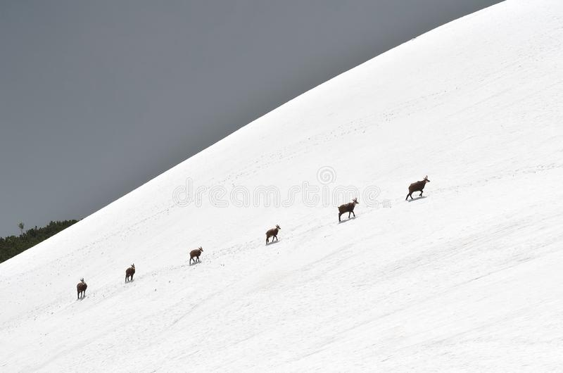 Chamois in the snow royalty free stock image