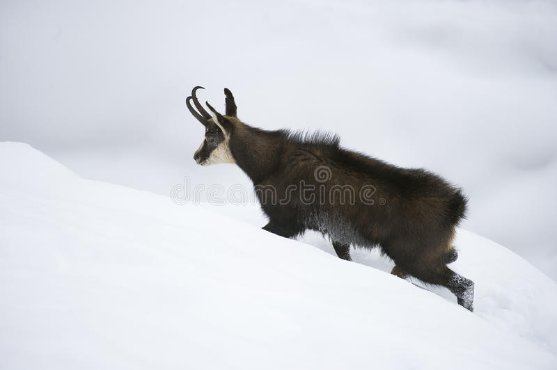 Chamois in the snow of the alps stock photography