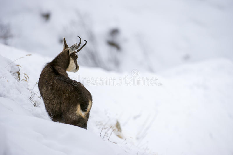 Chamois in the snow of the alps stock photos