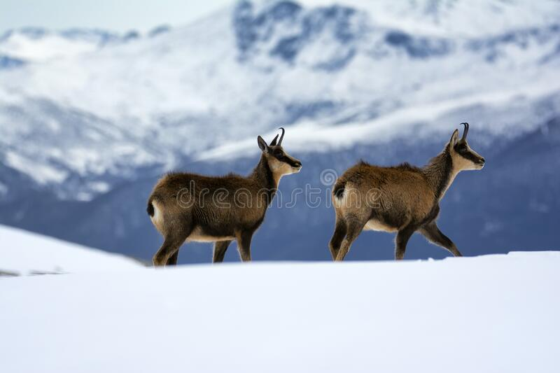 Chamois in the snow on the peaks of the National Park Picos de Europa in Spain royalty free stock images