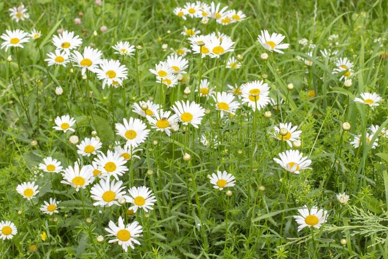 Chamomile łąka, wiele stokrotka kwiaty na zielonej łące, tło tapety sztandar zdjęcie royalty free