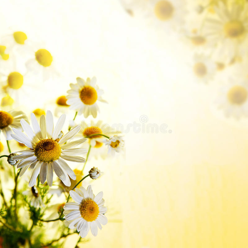 chamomile θερινά wildflowers στοκ φωτογραφία με δικαίωμα ελεύθερης χρήσης