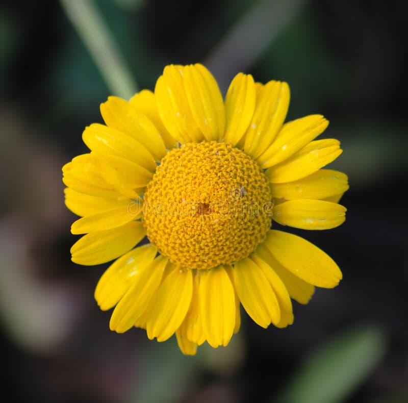 chamomile ιατρικός κίτρινος στοκ φωτογραφία