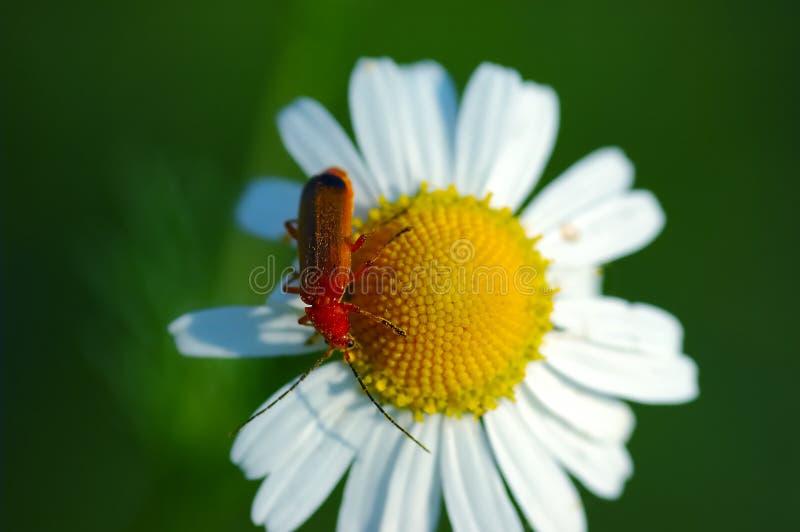 chamomile κόκκινο λουλουδιών π&rh στοκ φωτογραφίες με δικαίωμα ελεύθερης χρήσης