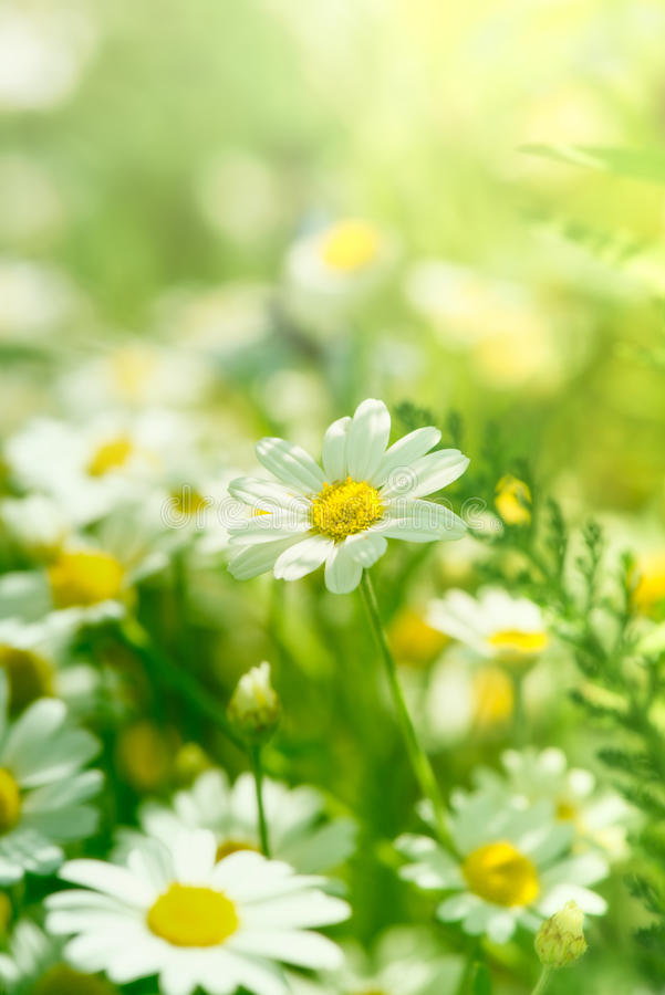 chamomile λουλούδια στοκ εικόνα με δικαίωμα ελεύθερης χρήσης