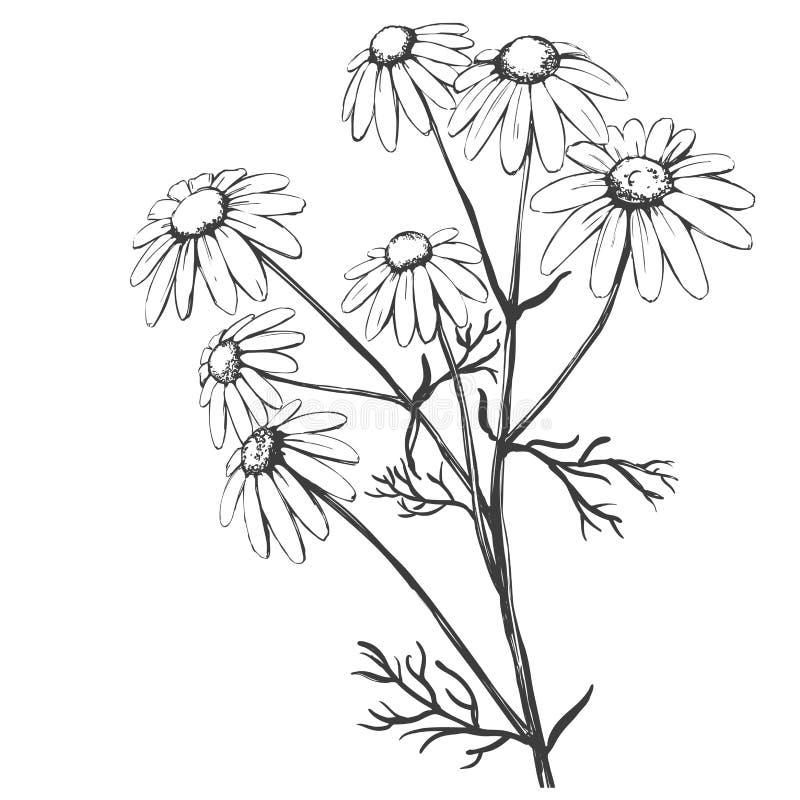 Chamomile, χορτάρι ιατρικό, ρεαλιστικό σκίτσο απεικόνισης μαργαριτών συρμένο χέρι διανυσματικό ελεύθερη απεικόνιση δικαιώματος