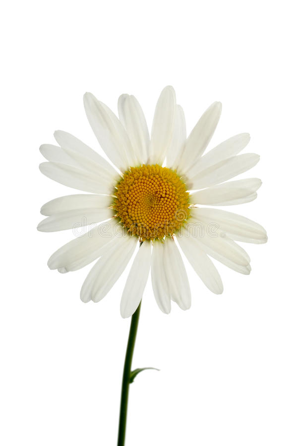Download Chamomile stock photo. Image of yellow, outdoor, nature - 10212798
