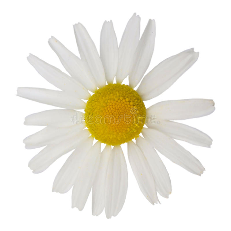 chamomile royaltyfri foto