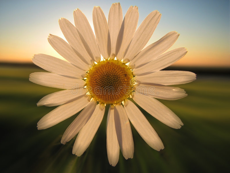 Chamomile. A Chamomile blossom in the sunset light stock photo