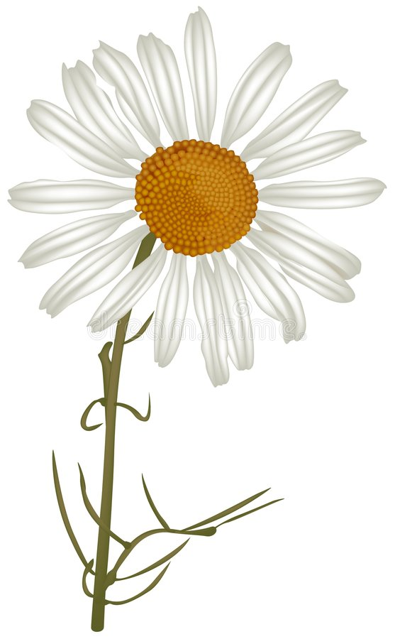 chamomile stock illustrationer