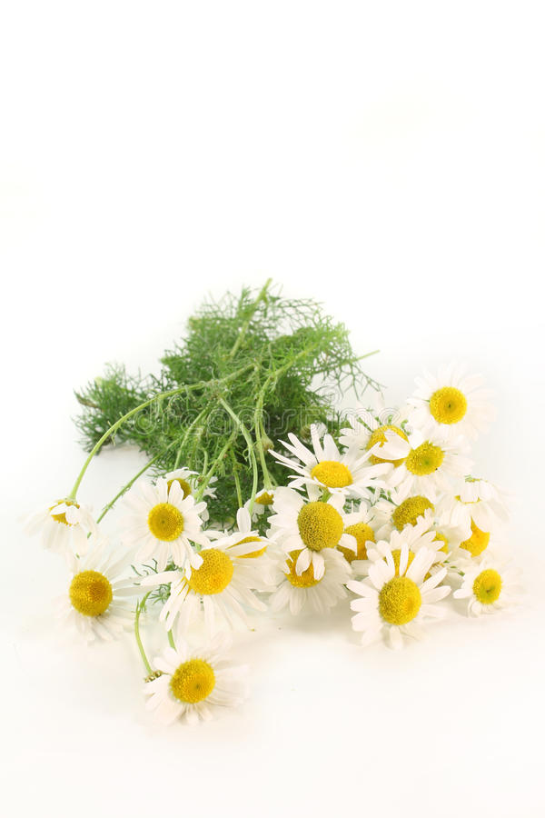Free Chamomile Royalty Free Stock Images - 20083819
