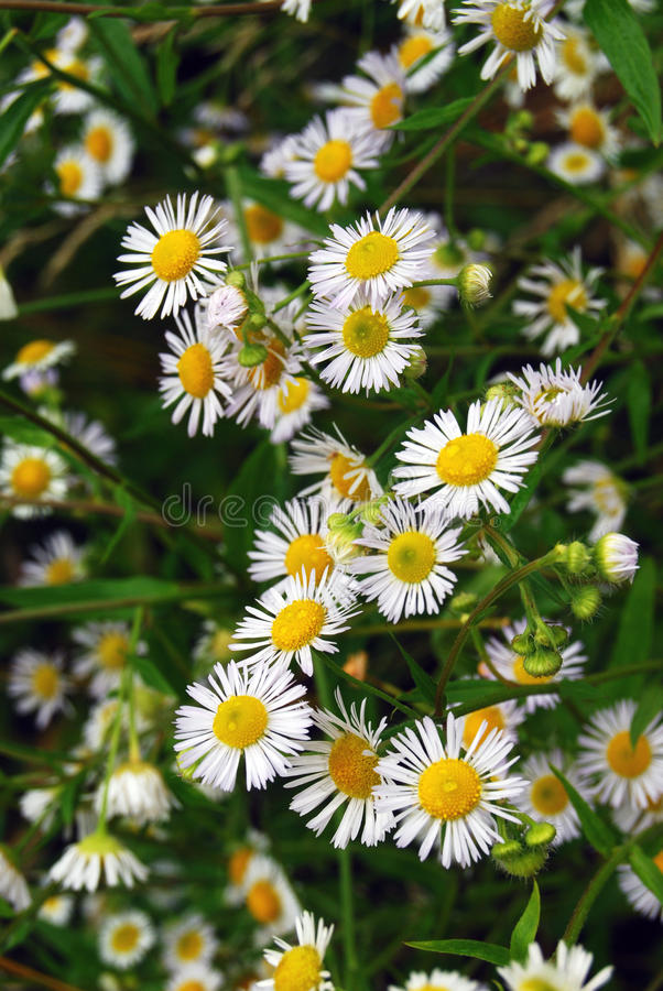 Free Chamomile Royalty Free Stock Photo - 21053245