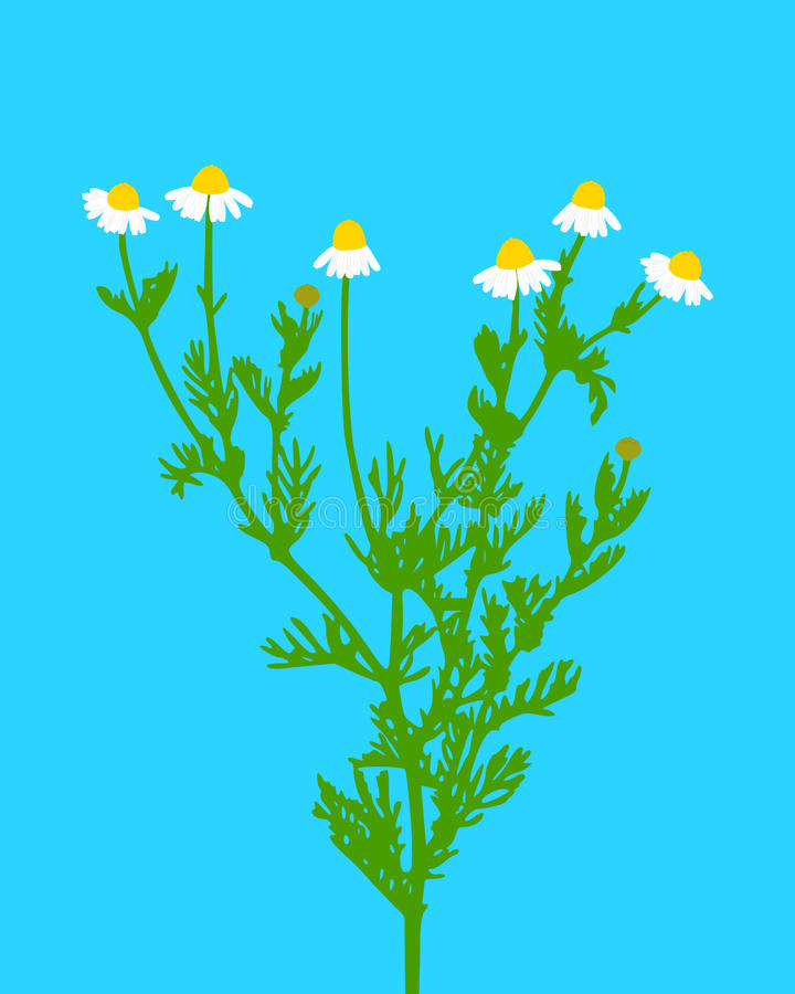 Download Chamomile Stock Photography - Image: 23563412