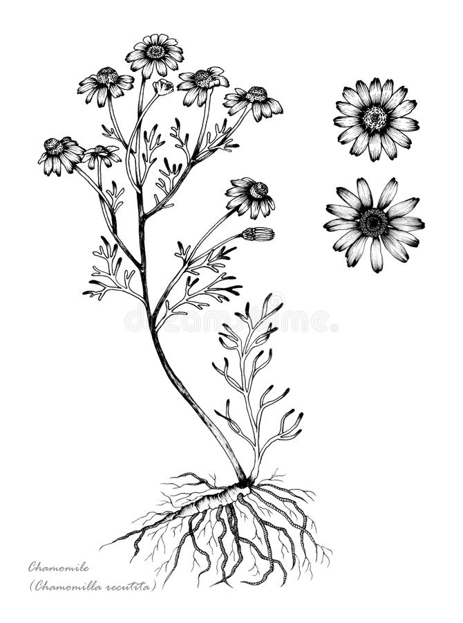 Chamomile. With detail of flower and root stock illustration