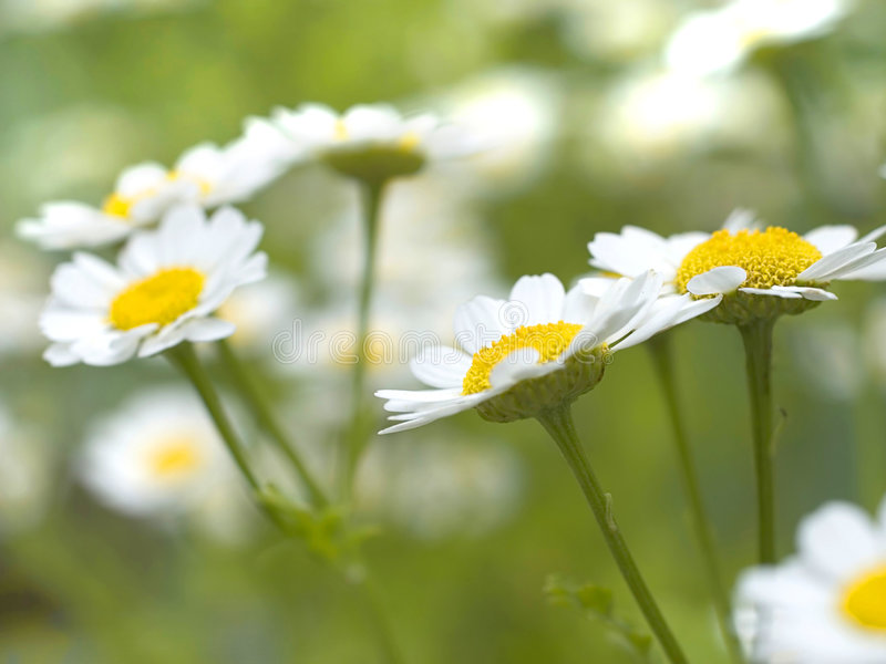 Download Chamomile Stock Photos - Image: 2612163