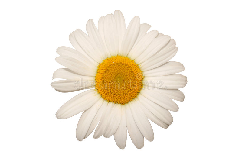 chamomile royaltyfri fotografi
