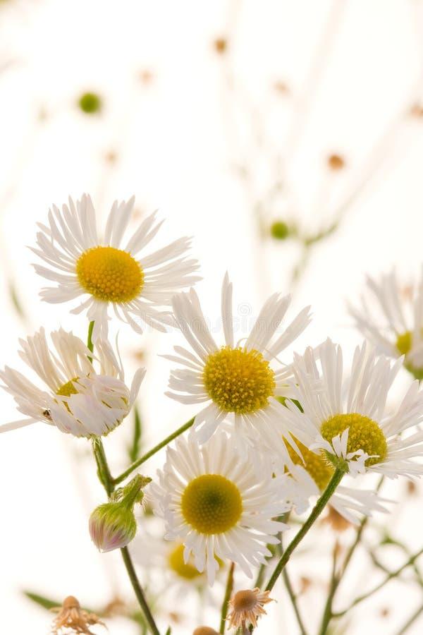 chamomile στοκ εικόνα με δικαίωμα ελεύθερης χρήσης