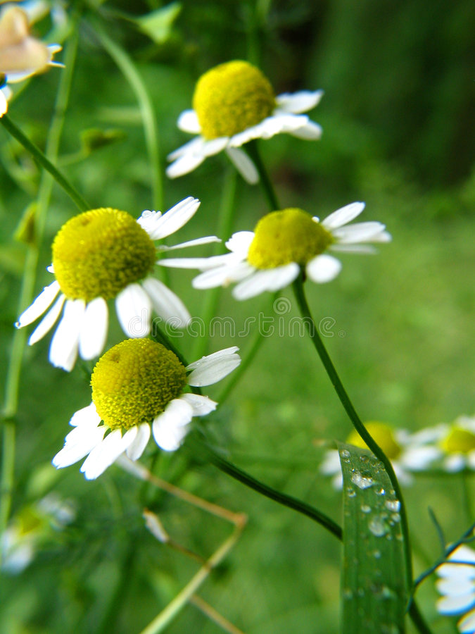 Chamomile. A chamomile on spring in a bent royalty free stock images