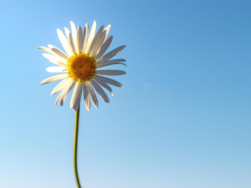 Chamomile against the blue sky. Summer background stock images