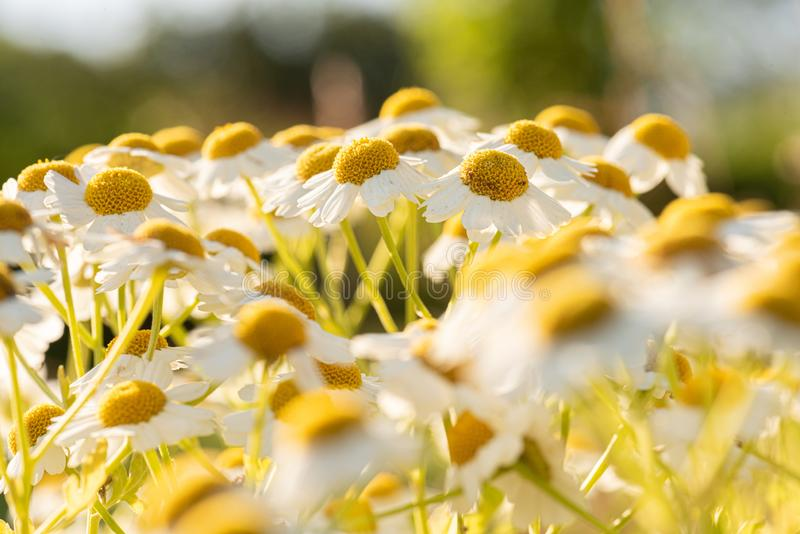 Chamomile Asteraceae em campo no pôr do sol imagens de stock