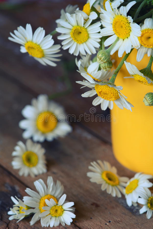 Chamomile (Asteraceae) flower. In yellow vase and on table with shallow depth of field royalty free stock photos