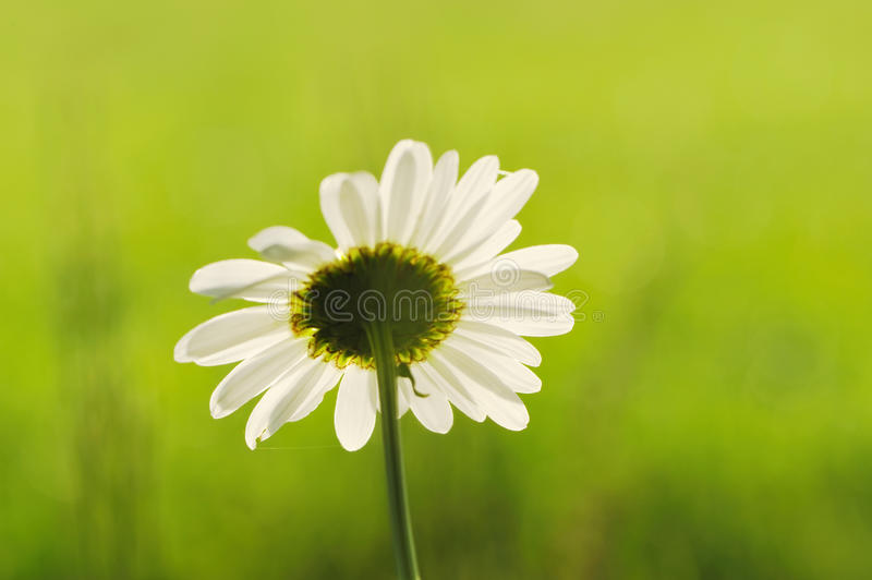 Download Chamomile background stock photo. Image of flower, marguerite - 14896566