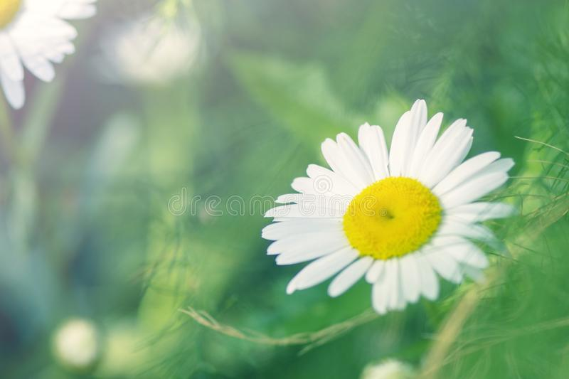 Chamomile is a beautiful flower with white petals and a yellow round middle. Macro. Chamomile is a beautiful flower with white petals and a yellow round middle royalty free stock photo