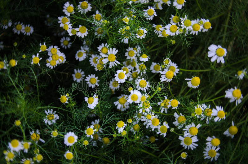 chamomile flowers on a field. shallow depth of field. low key photo. chamomile flowers background. Blooming chamomile field stock images