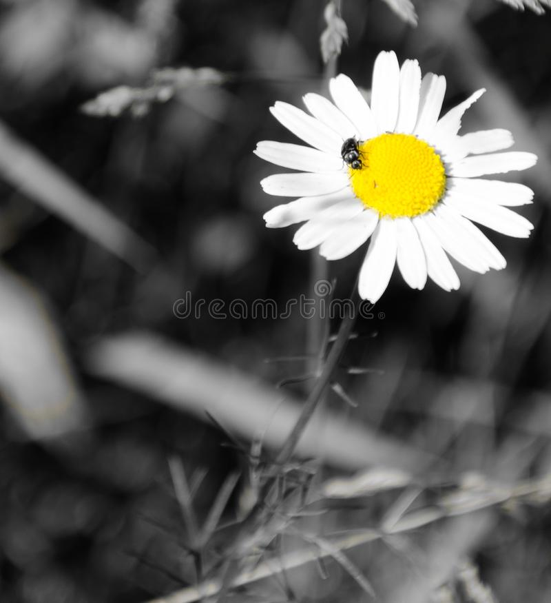 Chamomile with a beetle royalty free stock photography