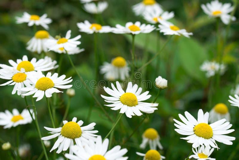 Chamomile białych kwiatów zbliżenie zdjęcie royalty free
